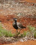 Australian Banded lapwing on the red earth stock photography