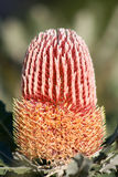 Australian Banksia Menseii Native Plant Royalty Free Stock Photography