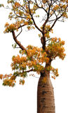 Australian Baobab - Boab Stock Photos