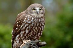 Australian Barking Owl Royalty Free Stock Image