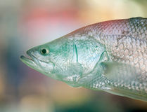 Australian Barramundi with Colorful Blurred Backgr Royalty Free Stock Image