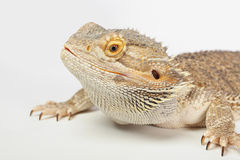 Australian bearded dragon Stock Image