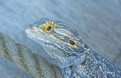 Australian Bearded Dragon. Royalty Free Stock Image