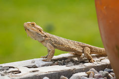 Australian Bearded Dragon Royalty Free Stock Images