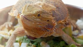 Australian Bearded Dragon Detail. Detailed portrait of an Australian Bearded Dragon lizard with emphasis on its face and beard of spikes stock image