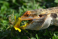 Australian Bearded Dragon feeding Stock Image