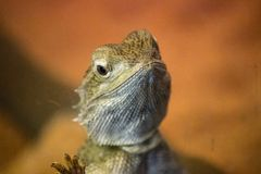 Australian bearded dragon lizard closeup. Closeup portrait of a bearded dragon lizard. With his cheeky smile he greets the viewer. Bearded dragons are found Stock Images