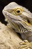 Australian Bearded Dragon - Pogona vitticeps Stock Photography