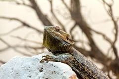 Australian Bearded Dragon - Pogona Vitticeps Stock Photo