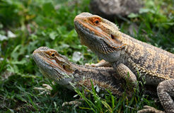 Australian Bearded Dragons. Outdoor portrait of a pair of Australian Bearded Dragons staring with observant facial expression while sitting in green grass stock images