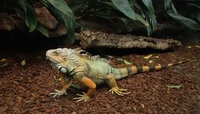 Australian bearded lizard Royalty Free Stock Photo