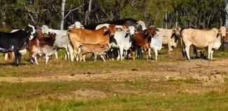 Australian beef cattle stock image