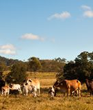 Australian Beef Cattle Stock Photos