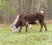 Brown and white hereford cow Royalty Free Stock Images