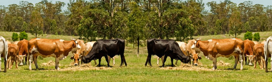 Australian beef cattle cow border Stock Photos