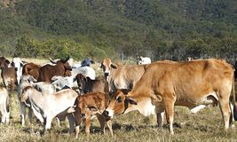 Australian beef cattle herd of cows on ranch. With brahman calfs Royalty Free Stock Photos