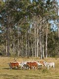 Australian beef cattle herd Royalty Free Stock Images