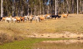 Free Australian Beef Cattle Near Water Dam Stock Photo - 26484350