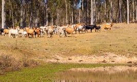 Australian beef cattle near water dam Stock Photo
