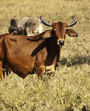 Australian beef cow Stock Photos