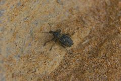 Australian beetle on sandstone rocks, Johanna Beach.  stock photos