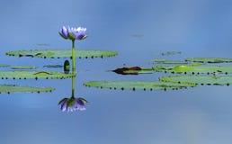 Australian billabong. Giant Waterlily - Nymphaea gigantea - in an Australian billabong or wetland lagoon Stock Image