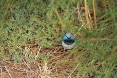 Australian bird. Australian blue fairy-wren in the bush Stock Image