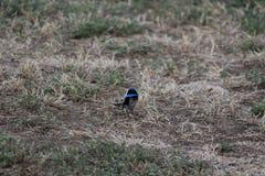 Australian bird. Australian blue fairy-wren in the bush Stock Photography