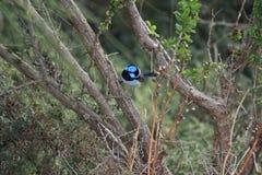 Australian bird. Australian blue fairy-wren in the bush Stock Images