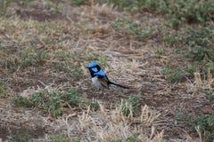 Australian bird Stock Image