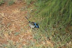 Australian bird. Australian blue fairy-wren in the bush Royalty Free Stock Photography