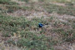 Australian bird. Australian blue fairy-wren in the bush Stock Photos