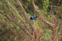 Australian bird. Australian blue fairy-wren in the bush Royalty Free Stock Photos