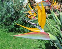 An Australian Bird of paradise Stock Images