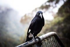 Australian bird Pied Currawong extreme closeup. Australian bird Pied Currawong, extreme closeup stock photos