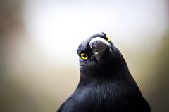 Australian bird Pied Currawong extreme closeup. Australian bird Pied Currawong, extreme closeup royalty free stock photography