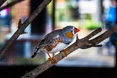 Australian bird Zebra Finch. At a tree branch Stock Photography