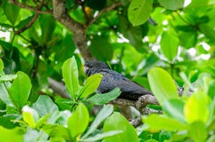 Australian Black Cockatoo. Rare and endangered wild Black Cockatoo, or Black Parrot, on Magnetic Island, in Cleveland Bay near Townsville, Australia's Great Stock Photos