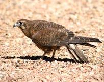 Australian Black Kite (Milvus migrans). On desert ground Royalty Free Stock Photo