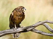 Australian Black Kite (Milvus migrans) Stock Photos