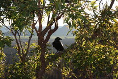 Australian black raven in Glass House Mountains Stock Images