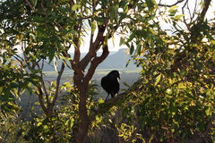 Australian black raven in Glass House Mountains Royalty Free Stock Image