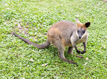 Australian black striped kangaroo Stock Photo