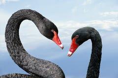 Free Australian Black Swans, Cygnus Atratus, Portrait. Close Up Of Black Swans Head With Red Beak And Eyes Royalty Free Stock Photo - 202666155