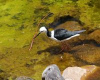 An Australian black winged stilt Stock Images