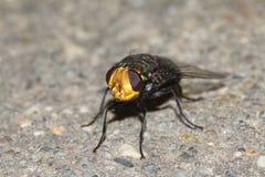 Australian blowfly. Bluebottle sitting on concrete Stock Photos