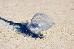 Australian Blue Bottle Jellfish Stock Photos