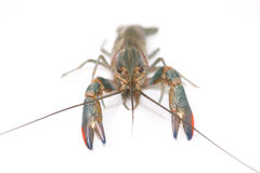 Australian blue crayfish Royalty Free Stock Images