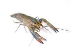 Australian blue crayfish Royalty Free Stock Photos
