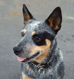 Australian Blue Heeler Stock Photo